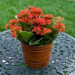Kalanchoe ou flor da fortuna - Nome cientifico: Kalanchoe blossfeldiana. Essas belas flores precisam de luz solar direta por algumas horas durante o dia, então, se o seu banheiro é pouco iluminado não opte por essa espécie. O kalanchoe possui folhas suculentas e bastante resistentes ao calor. Há vários tons de flores: alaranjado, vermelho, amarelo, branco e rosa, por exemplo. Quando adulta, alcança até 30 cm de altura. O solo ideal é poroso, drenado e rico em matéria orgânica e as regas no inverno devem ser espaçadas, pois o excesso de água pode provocar o apodrecimento das raízes.