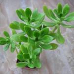 Bálsamo - Nome científico: Sedum dendroideum. Esta herbácea suculenta é originária das regiões desérticas do México e, portanto, suporta condições extremas. Pouca rega é o segredo para mantê-la vivaz, assim como para os cactos e qualquer outra suculenta. Tal plantinha pode ser conservada em um regime de exposição indireta à luz natural