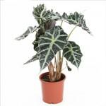 Punhal malaio - Nome cientifico: Alocasia amazonica. É uma planta muito vistosa, com folhas grandes de até 60 cm de comprimento em formato coração e com bordas recortadas em ondulações. O exemplar pode atingir até um metro de altura e seu cultivo somente é recomendado junto a janelas onde possa receber luz natural.
